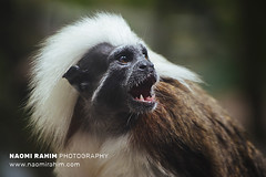 Cotton Top Tamarin - Jurong Bird Sanctuary, Singapore (Naomi Rahim (thanks for 3.9 million visits)) Tags: singapore 2017 jurong jurongbirdsanctuary nature wildlife zoo sanctuary jurongeast travel travelphotography nikon nikond7000 asia wanderlust monkey bokeh cottontoptamarin funny expression primate