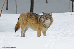 Lupo _017 (Rolando CRINITI) Tags: lupo mammiferi bayerischerwaldnationalpark germania natura canislupus neve