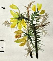 Genêts. (cecile_halbert) Tags: peinture paint flower fleur genêt aquarelle watercolor sketch croquis esquisse pochade sketchbook nature botanique botanical
