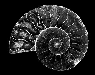 024693763427-101-Ammonite Shell  Fossil Stone-5-Black and White