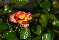 DSC_0309 (PeaTJay) Tags: nikond750 reading lowerearley berkshire macro micro closeups gardens outdoors nature flora fauna plants flowers rose roses rosebuds