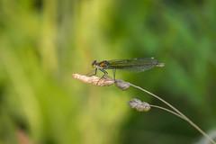Sunbathing (Jana`s pics) Tags: animals insects dragonfly evening sun nature wildlife outdoor insekten tiere libellen natur wildtiere deutschland germany rhine rhein rheinauen abend abendstimmung eveningmood
