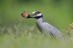 Yellow-crowned Night Heron (Greg Lavaty Photography) Tags: yellowcrownednightheron nyctanassaviolacea texas june brazosbend statepark ftbendcounty birdphotography outdoors bird nature wildlife