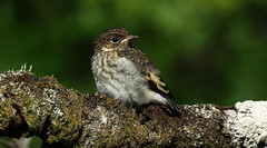 Juvenile Pied Flycatcher (Cal Killikelly) Tags: pied flycatcher midwales juvenile young cute