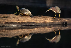 Early Morning Light and Reflections (ksharp2) Tags: heron littlegreenheron turtle log morning light morninglight reflectiins natureandwildlife huntleymeadowspark