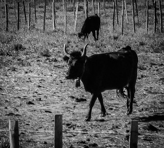 Young Bull, Aigues-Mortes, Provence