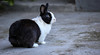 4 IMG_9161 b P (Ph Leonardo S.C.) Tags: coniglio bunny