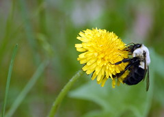 Common Eastern Bumblebee (chasdobie) Tags: bee bumblebee insect macro dandelion rural lanarkcounty ontario canada nikon nature bumblebeewatchorg