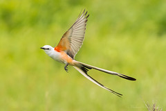 Oklahoma Scissor-Tailed Flycatcher (mbryan777) Tags: d850 nikond850tamron150600mm 85b3389cx12x82 mbryan777 oklahoma scissortailed flycatcher bird state osage county male