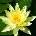 Waterlily in Yellow thumbnail