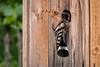 Wiedehopf (Upupa epops) mit Maulwurfsgrille (AchimOWL) Tags: wiedehopf vogel bird natur nature wildlife outdoor kaiserstuhl lumix panasonic gh5 rackenvogel zugvogel weinberge weinberg tier hornvogel hopf bucerotiformes wiedehopfe upupa hoopoe dudek fauna grille brut maulwurfsgrille