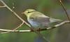 Wood Warbler (KHR Images) Tags: woodwarbler phylloscopussibilatrix wild bird woodland kyleoflochalsh scottish highlands wildlife nature nikon d500 kevinrobson khrimages