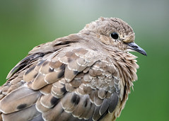 A6309684 (mbisgrove) Tags: canadian bird a6300 sel100400gm dove sony wings feathers portrait