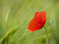 Poppy & Corn (Karsten Gieselmann) Tags: 40150mmf28 blumen blüten bokeh dof em5markii farbe grün mzuiko microfourthirds mohn natur olympus pflanzen rot schärfentiefe blossom color flower green kgiesel m43 mft nature poppy red teublitz bayern deutschland
