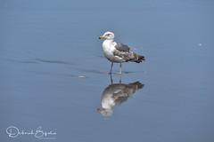 Western Gull (dbifulco) Tags: bird cannonbeach nature oregon oregoncoast westerngull wildlife