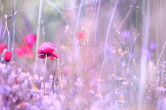 """""""Sweet dreams are made of this..."""" (Ilargia64) Tags: poppies red pink nature flower bokeh bokehinthenature field light colorful spring amayasanchez dream dreamy moody"""