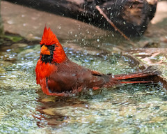 Nature's Bird Bath... (ragtops2000) Tags: cardinal eastern male bath pond splash water hot spring red colorful forest action