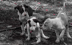Brothers (kalybia) Tags: dogs perros blackwhite cachorros blackandwhite puppies cannon eos 77d juego play