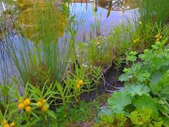 Hahnenfussgewächse blühen (Sophia-Fatima) Tags: pond gartenteich wassergarten mygarden meingarten naturgarten gardening hahnenfussgewächse wasserpflanzen
