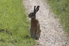 Lepus europaeus (RubénRamosBlanco) Tags: naturaleza nature animales wildlife mamíferos mammals liebreeuropea europeanhare lepuseuropaeus campos camino path hungría hungary primavera spring