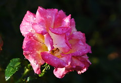 DSC_0227 (PeaTJay) Tags: nikond750 reading lowerearley berkshire macro micro closeups gardens outdoors nature flora fauna plants flowers rose roses rosebuds raindrops