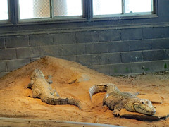 Crocodiles. (dccradio) Tags: hamlet sc southcarolina dillon dilloncounty southoftheborder touristattraction reptilelagoon crocodile animal reptile mexicancrocodile crocodylusmoreletii inside indoors belize mexico guatemala zoo sand dirt creature window windows blocks wall rock pair two crocodiles canon powershot elph 520hs