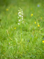 P6100114 (turbok) Tags: blütenweis orchideen pflanze wildblumen wildpflanzen c kurt krimberger