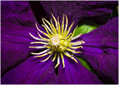 Clematis (Pitheadgear) Tags: macro macrophotography leicadgmacroelmarit45mm flower flowers naturalhistory closeups saturation colour saturated clematis