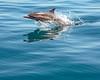 Dolphin (DASEye) Tags: davidadamson daseye nikon dolphin dolphins whales whalewatching sandiego california sandiegowhalewatch commondolphin porposing