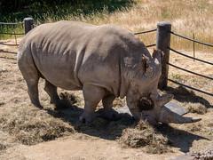 Wally the Rhino - 7000lbs of Fun (donjd2) Tags: southernwhiterhinoceros safariwest rhinoceros santarosa california unitedstates us