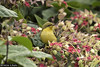41359 Olive-backed Sunbird (Cinnyris jugularis) juvenile in an urban garden in Ipoh, Perak, Malaysia. IUCN=Least Concern. (K Fletcher & D Baylis) Tags: animal wildlife fauna bird sunbird olivebackedsunbird passerine passeriformes nectariniidae cinnyrisjugularis leastconcern nectar urban garden ipoh perak malaysia asia june2018