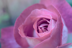 Sony a7 50mm 2.8 macro (Jasrmcf) Tags: ilce7 sel50m28 sony50mm sony sonyimages sonya7 fullframe sonymacro macro 50mm28macro smooth blur bokeh bokehlicious bok dof detail depthoffield dreamy beautiful garden nature ngc greatphotographers colour colourful colourartaward petals flowers rose pink