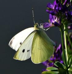 Piéride 2 (BrigitteChanson) Tags: papillon piéride farfalla mariposa butterfly