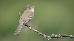 Willow Flycatcher (Empidonax traillii) (ER Post) Tags: bird flycatcher willowflycatcherempidonaxtraillii fennville michigan unitedstates us
