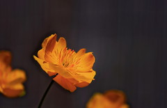 flower 1527 (kaifudo) Tags: sapporo hokkaido japan botanicalgarden flower trolliusjaponnicus 札幌 北海道 北大植物園 シナノキンバイ 信濃金梅 nikon d810 sigmaapomacro105mmf28 sigma 105mm