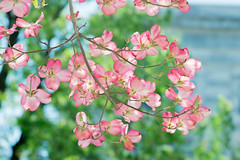 Spring2018011 (jtleagles) Tags: dogwood flower flowers pink tree spring springflower springflowers jtleagles nikond3400 d3400