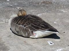 Greylag Goose (_jons_) Tags: naturephotography nature wildlife wildlifephotography birdingphotography birding birds birdwatching birdphotography