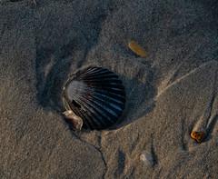 seashell (Dave_Bradley) Tags: seashell ocean beach obx shell sand outdoor macro dreams