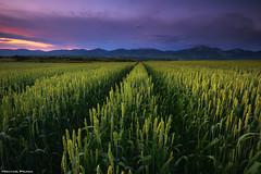 Spring Fields (Hector Prada) Tags: atardecer sunset tormenta storm sky cielo nubes clouds fields campos wheat trigo mountains paisaje landscape paísvasco basquecountry alava