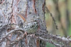 Fox Sparrow (Alan Gutsell) Tags: bird birding wildlife nature canada alan animal fox sparrow foxsparrow emberizine migration