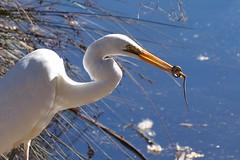 Great Egret  (Ardea alba) (johnedmond) Tags: perth westernaustralia egret bird wildlife nature sel55210 55210mm ilce3500 sony