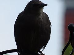 DSC00138 (robinsparrow) Tags: starling birding birds birdwatching nature wildlife garden wild outdoor