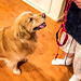 Communication (bztraining) Tags: dogchal henry odc bzdogs bztraining golden retriever 3652018