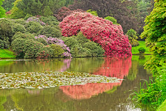 Rhododendron (Geoff Henson) Tags: rhododendron flowers bushes trees lake water reflection lillies park sussex nationaltrust