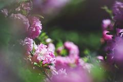 DSC06477 (dicha_oro) Tags: flowers