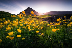 whitesh (KasparsDz) Tags: iceland summer tour photography landscape flowers buttercups arnarstapi house green snæfellsnes travel nature sunshine wide angle