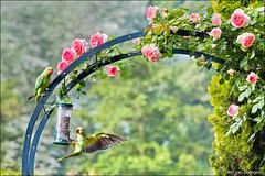 garden (heavenuphere) Tags: roseringedparakeet ringneckedparakeet roseringed ringnecked parakeet psittaculakrameri halsbandparkiet animal bird pink rose roses garden feeder sunflower seed zuidholland southholland nederland netherlands europe 70200mm