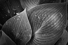 Hosta Study 1 (j-rye) Tags: sony a6000 sonya6000 sonyalpha rokkor mirrorless leaves bw blackandwhite lkg
