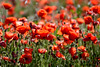 La saison du rouge (Michel Seguret Thanks for 12,1 M views !!!) Tags: france cournonsec herault fleur fleurs flower flowers nature michelseguret nikon d800 pro coquelicot poppy poppies rouge red rosso rojo printemps spring