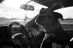 What's up dude? (tamasmatusik) Tags: dog blackandwhite monochrome bw feketefehér noiretblanc cute santabarbara car driver sony sonynex nex6 sigmalens sigma 30mm silhouette morning pet streetphotography street hund